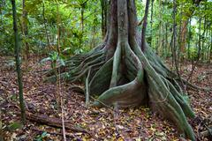 Mangrove in tropical forest at Con Dao island in Vietnam. - stock photo