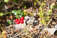 northern red cowberries on green brunches in autumn season - stock photo