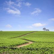 vineyard south australia - stock photo
