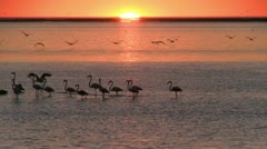 Flamingo's at beautiful sunset 3 Stock Footage