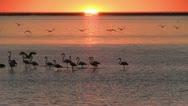 Flamingo's at beautiful sunset 3 Stock Footage