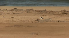 Gull eating a dead seal - stock footage