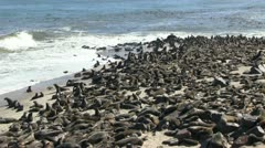 Huge colony of seals Stock Footage