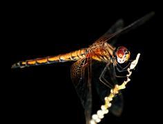 Hyönteinen sudenkorento Kuvituskuvat