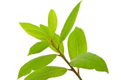 Small laurel tree Stock Photos