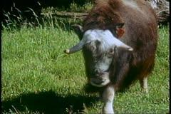 Matanuska Valley, Alaska, musk ox, medium shot Stock Footage