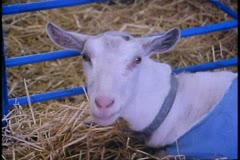 Alaska State Fair, close up of goat, Palmer, Alaska Stock Footage