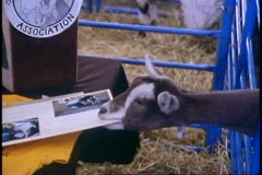 Alaska State Fair, close up of goat eating a sign, humorous, Palmer, Alaska - stock footage