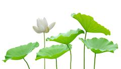 Lotus flower and leaf isolated on white (large size) Stock Photos