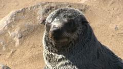 Seal close up - stock footage