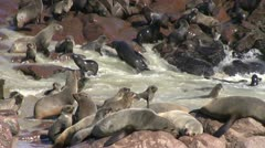 Seal colony (2) - stock footage