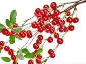 Stock Photo of branch of ripe cherries