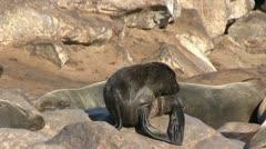 Seals (5) - stock footage