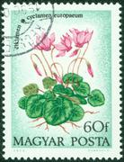 stamp printed in Hungary shows Cyclamen with the inscription, circa 1973 - stock photo