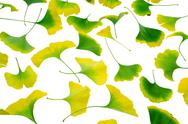 Ginkgo leaves Stock Photos