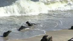 Seals on the beach (2) - stock footage