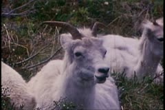 Denali National Park, Alaska, animals, Dahl sheep, seated, chewing Stock Footage