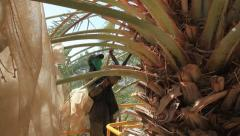 Canopying in the date palm tree Phoenix dactylifera Stock Footage
