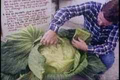 Alaska State Fair, man inspects giant cabbage, Palmer, Alaska Stock Footage