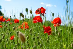 Poppies on green field Stock Photos
