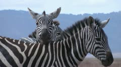 Zebra cuddling in african savanna Stock Footage