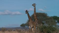 Giraffe mating in african savanna Stock Footage