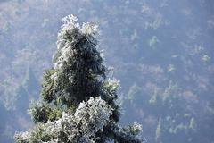 icy pine tree branch - stock photo