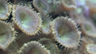 Stock Video Footage of Brown Polyps Macro