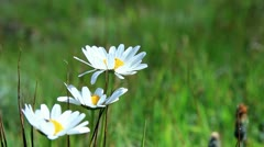 Marguerite (Daisy) flowers Stock Footage