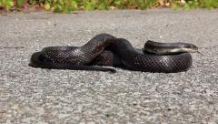 Black Ratsnake slithering across a road in Ontario, Canada. Stock Footage