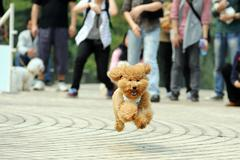 poodle dog running - stock photo