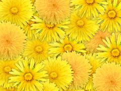 abstract background of yelow flowers - stock photo