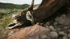 Dead Cow Carrion on Dry Land Stock Footage