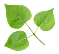 three green leafs of lilac - stock photo