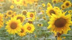 Wonderful Sunflower Field - stock footage