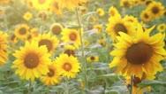 Wonderful Sunflower Field Stock Footage