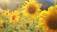 Sunflowers field with sunflare Stock Footage