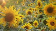 Sunflowers Field Stock Footage
