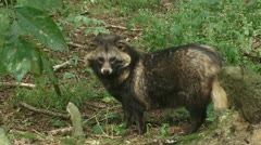 Raccoon dog in forest standing & sniffing 04p Stock Footage