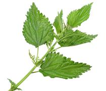 Few green leafs of nettle Stock Photos