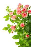Bush with pink roses and green leafes Stock Photos