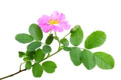 Single branch of dog rose Stock Photos