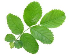 Single young branch with green leaf Stock Photos