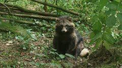Raccoon dog sits in forest shaking head off  05p Stock Footage