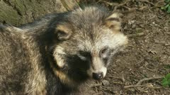 Raccoon dog stands in forest ht looking around 06p Stock Footage