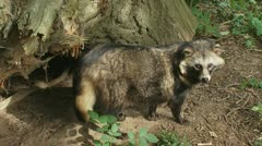 Raccoon dog stands in forest looking around 07p Stock Footage