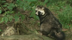 Raccoon dog sitting on log 01i Stock Footage