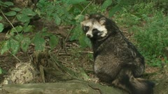 Raccoon dog sits and walks out of shot 02i Stock Footage