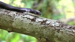 A Black Ratsnake on a tree in Ontario, Canada. - stock footage