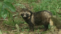 Raccoon dog in forest standing & sniffing 04i Stock Footage